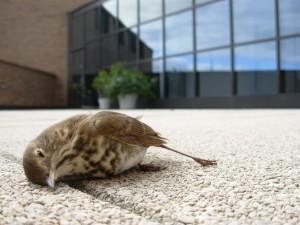 Hager_BirdWindowCollisions_Carcass